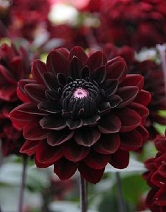 Black blood dahlia flower seeds annual 10 for Flowers that look like dahlias