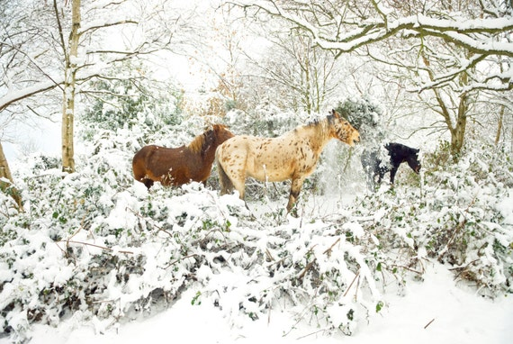 Appaloosa horse in the snow,horse art,equine print,photographic print,horses,limited edition print