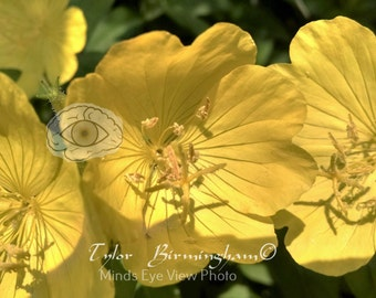 Yellow Spring Flowers Buttercups Ranunculus Photography Print Floral Decor Macrophotography