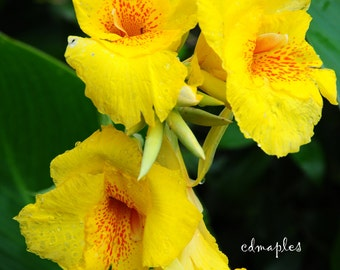 Canna Lilies Photo, Flower Photography, Print, Summer Flowers, Cannas, Yellow Flowers, Plants