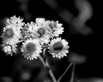 Flower Photo Art - Black and White Floral Photography - Antennaria Photograph - Botanical Wall Decor - Fine Art -  8x10 11x14 16x20 20x30