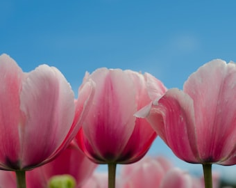 Pink Tulips Blue Sky