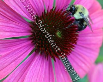 Bumble Bee Aside Echinacea