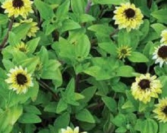 30+ Vanilla Sprite Creeping Zinnia Flower Seeds / Annual / Ground Cover