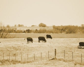 Cows in the field 8x10 Kansas