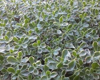 """40 Succulent cuttings """"Tri-Color Sedum"""" sedum spurium for gardens, planters"""