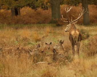 Photographic Print - Stag and Herd Photo - Photography of wildlife