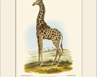 Giraffe Print, Art Print with Mat, Note Card, Antique Natural History Illustration, Wall Art, Vintage Wall Decor, Animal Print