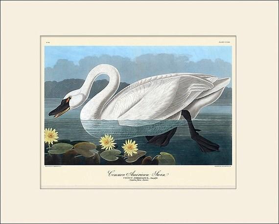 Audubon Bird Art Print, American Swan, New Matted Art Print, Wall Decor, Natural History, Vintage Bird Illustration, Wall Art