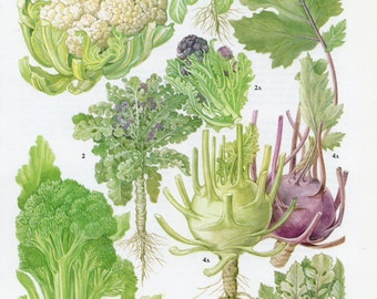 1960's Vintage Cauliflower and Broccoli Lithograph - Vintage Vegetable Print, Kitchen Decor, Kitchen Print, Kitchen Wall Art, Vintage