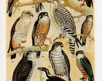 Vintage Bird of Prey Print - 1960's Double Sided Bird of Prey Print