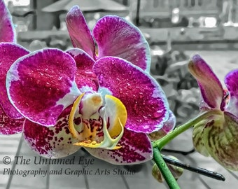 Moth Orchid Closeup Blank Photo Card with Envelope, Flower Photography, Photo Print Notecard, Purple Pink, Boxed Set