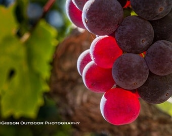Large Wine Country Photo, Wall Art, Vineyard Picture, Grape Cluster Print, Dry Creek Valley Scene, Wine Country Decor, Red, Green, Purple