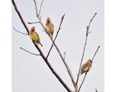 Cedar Waxwing Bird Photograph