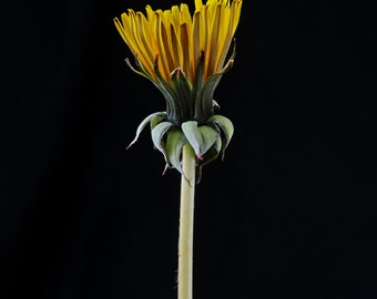 Dandelion - Flower still life  fine art photography