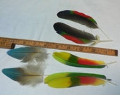 3 matched sets of feathers,Amazon Parrot Lime green colored Tail Feathers, natural colored,cruelty free collection #c15
