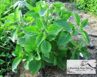Tulsi Tea Seeds Heirloom Seeds Medicinal Herb Seeds Holy Basil Seeds Non GMO Seeds Chemical Free Eco Friendly Natural Basil Seeds / 100