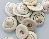 Natural Spiral Shell Beads - GM406