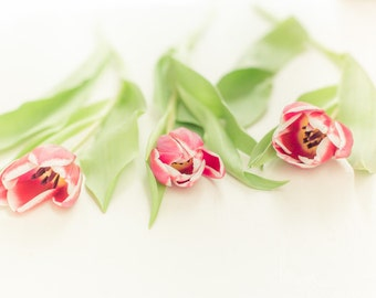 tulip photograph, still life, pinks, greens, creams, clean palette, romantic art, flower photo, spring