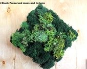 Real Moss & Lichens-Wall Art-6x6 moss frame-Cladonia Lichens-Fruiticose mounds-NO WATER needed-Hang vertical or horizontal-OOAK-Argyrea fern