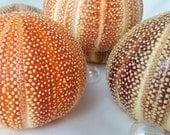 "Beach Decor Nautical English Channel Sea Urchin, Specimen Shell, EXTRA LARGE Sea Urchin, Orange Sea Urchin, Purple Sea Urchin, 4"" plus"