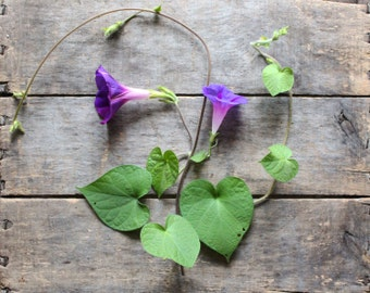 Morning Glory, organic heirloom seeds, flower seeds from our farm, climbing vine, flower garden, cottage garden, gardener