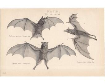 1880 BATS ANTIQUE ENGRAVING - original antique print - nocturnal mammal Chiroptera engraving - vampire bat bulldog bat kalong bat