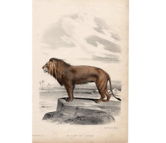 1860 ANTIQUE LION print original antique african safari animal lithograph - atlas or barbary lion - EXTINCT!