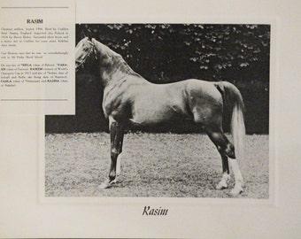 Vintage Crabbet Arabian Horse Art Print - Rasim