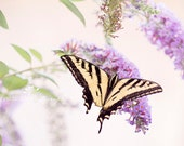 Tiger Swallowtail Butterfly   Crystal Lynn Photography