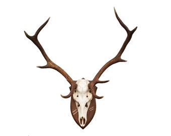 XL Red Deer Stag Antlers - German - Black Forest - Mounted Antlers and Skull