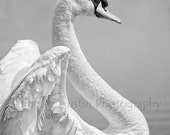 Swan Wings - 8x10  Black and White Fine Art Print