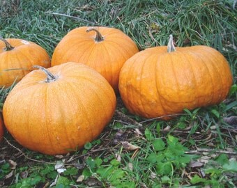 FREE SHIPPING 25 Pumpkin Seeds, Cinderella Type