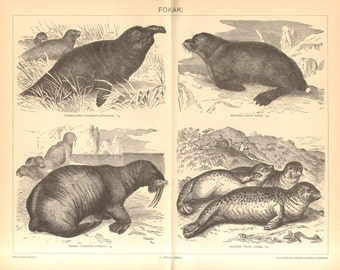 1894 Pinnipeds or Seals, Elephant Seal, Sea Lion, Walrus, Harbor Seal Antique Engraving Print