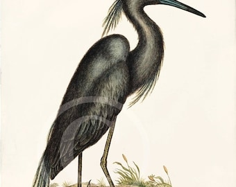 ON SALE Antique Bird Art Print - Home Decor - Ardea Caerulea 1