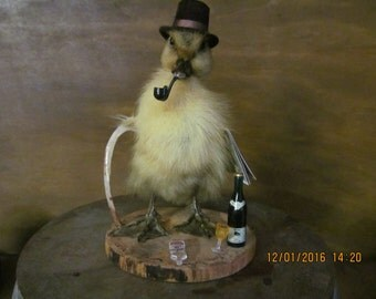 Taxidermy duckling ' Country Gent ' ethical taxidermy