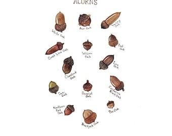 Acorns Field Guide Art Print  / Watercolor Painting / Wall Art / Nature Print