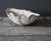 Extra Large Natural Tridacna Clam Shell.  Great Coffee Table Decor