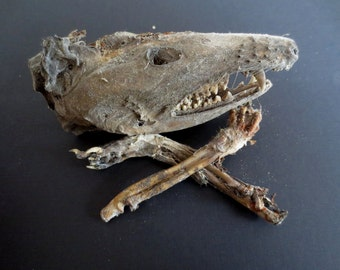 Mummified Possum Skull and Paws - Macabre - Real Bones Dried Flesh Teeth - Halloween