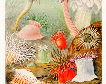 Vintage Sea Anemones Print C1925 lithograph of Sea Anemones of Northern Seas From The Marvels of The Universe. Decorative Child's Room Print