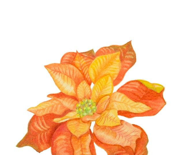 "Poinsettia or ""Christmas Star"", Christmas Rose,  Star of Bethlehem, Weihnachtsstern Kerstroos, Euphorbia pulcherrima, Christmas Red Rooss"