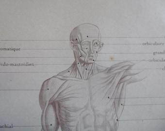 Antique Muscular system / Muscles of the HUman Body Prints Across 3 Pages French Original Medical Diagram / Chart