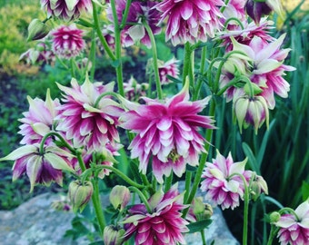 Columbine Seeds, 100 Columbine Flower Seeds, Mixed Colors Aquilegia, Easy Wildflower Seeds, Columbines in Mixed Colors With Doubles