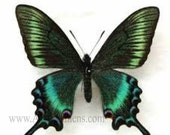10% OFF SALE Folded Papilio Maackii Maackii Spring Dried Unspread Butterfly