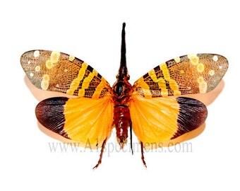 Orange Pyrops Spinolae Lanternfly Spread Specimen