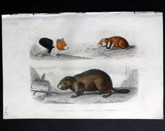 Buffon C1855 Hand Col Print. Guinea Pig, Hamster, Marmot