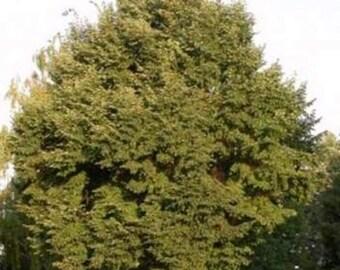 Littleleaf Linden Tree Seeds, Tilia cordata - 25 Seeds