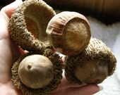 3+ MAMMOTH Acorns Bur Oak from TX: Bowl Filler, Woodland Wedding, Wreaths, Ornies, Garland, Floral, Untreated natural wild harvested organic