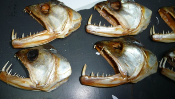 skull vampire fish heads for sale from peru