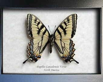 Tiger Swallowtail Real Butterfly In Museum Quality Shadowbox